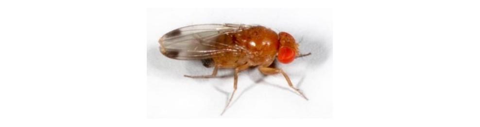 Contrôle Drosophila Suzukii